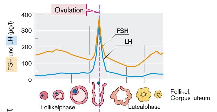 mi az erekció és az ovuláció