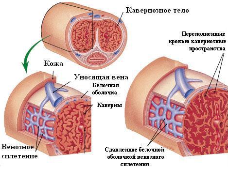a szexuális erekció mechanizmusa