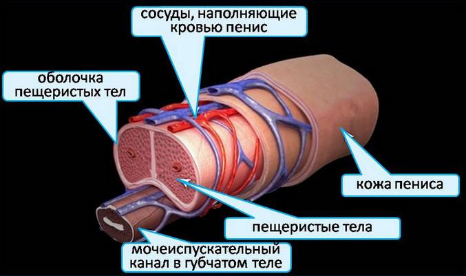 mesterséges péniszek a péniszek különböző formái