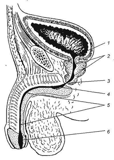 A pénisz varikózusai: mi ez a betegség, és hogyan veszélyes?