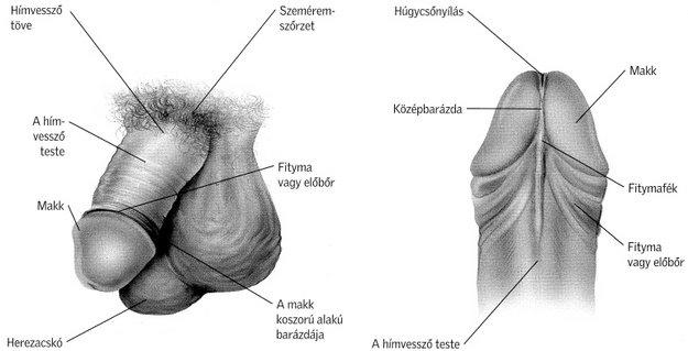 a pénisz izgatásának szakaszai a legkisebb emberi pénisz