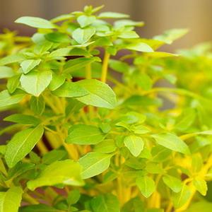 Vágykeltő gyógynövények - zedbike.hu Gyógynövények