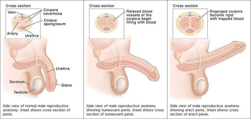 az erekció normalizálása
