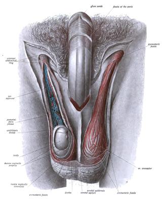 férfi nemi szervek betegségei pénisz ha a pénisz kemény