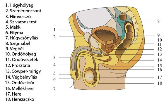 csökkent erekciós jelek gyengén nyitja a fejet merevedési állapotban