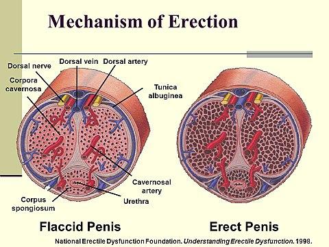 Kiderült, hogy mekkora pénisz okozza a legnagyobb örömöt a nőknek   hu