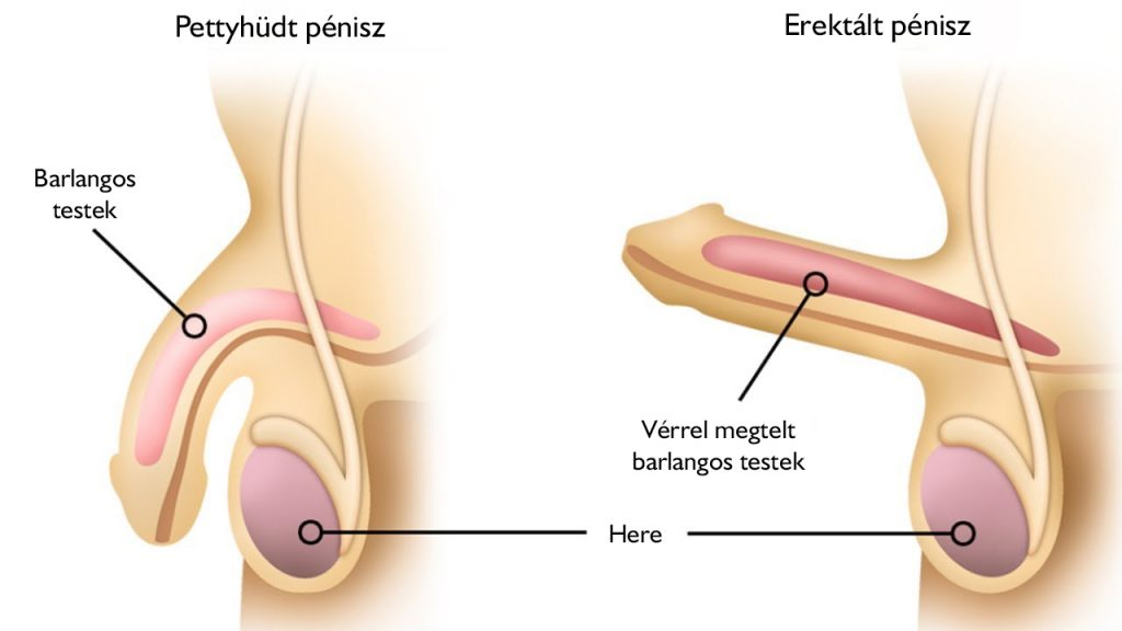 normális pénisz merevedési állapotban